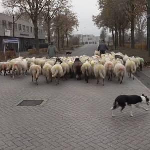 Schaapskudde door Schijndel (video)