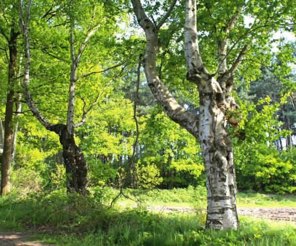 Gemeente maakt kaart met belangrijke bomen