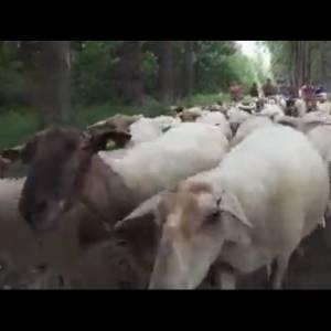 Aan de wandel met de schaapsherder in het Wijboschbroek