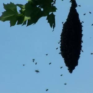 Bijen zwermen uit