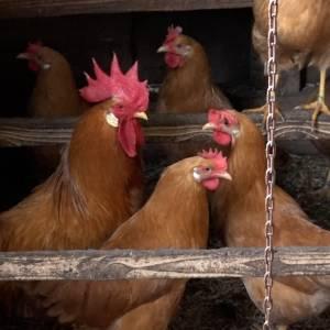 Ook hobbyboeren hebben last van de vogelgriep (video)